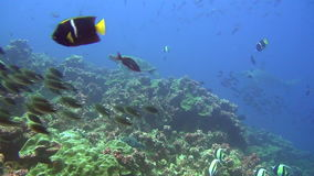 School of fish and shark on background underwater in sea of Galapagos Islands. stock video