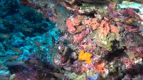 School of fish and shrimp on background of clear seabed underwater of Maldives. stock footage