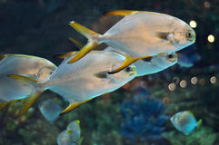 School of fish similar to platax or Pomfret in salwater aquarium Royalty Free Stock Photo