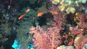 School of fish in soft corals underwater in Red sea. stock footage