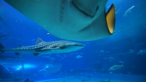 School of Fish, Sting Rays, Whale Sharks. Sea background video. Stingrays, Whale Sharks and School of Fish in Large Aquarium stock footage