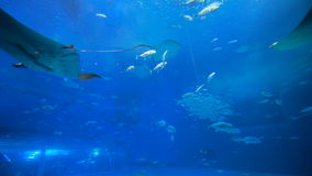 School of Fish, Sting Rays, Whale Sharks. Sea background video. Stingrays, Whale Sharks and School of Fish in Large Aquarium stock video