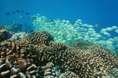 School of fish surgeonfish underwater reef barrier Royalty Free Stock Image