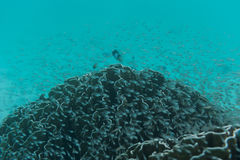 School of fish swimming near reef. Beautiful underwater shot. Ma Royalty Free Stock Image