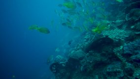 School Of Fish Swimming Underwater In The Sea. School Of Green Color Fish Swimming Underwater In The Tropical Sea stock video