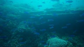 School Of Fish Swimming Underwater In The Tropical Sea. School Of Blue Color Fish Swimming Underwater In The Tropical Sea stock video