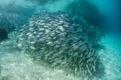 School of Fish. A thick school of silvery scad swim in the clear, blue waters of a lagoon in the Solomon Islands. Fish school primarily as a method of protecting Stock Images