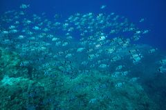 School of fish two banded seabream Mediterranean. School of fish two banded seabream Diplodus vulgaris underwater in the Mediterranean sea, Medes Islands, Costa stock photography