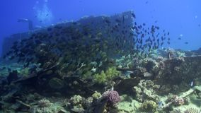 School of fish underwater on background of wreck ship in Red sea. stock video footage