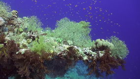 School of fish underwater on clean blue background of corals in Red sea. stock video footage
