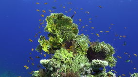 School of fish underwater on clean blue background of corals in Red sea.
