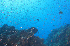 A school of fish underwater Royalty Free Stock Photography