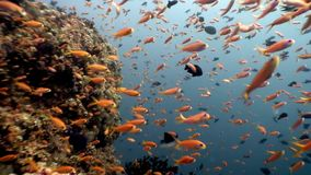 School of fish underwater natural aquarium of sea and ocean in Maldives. Unique video footage. Abyssal relax diving. Beautiful animals stock footage