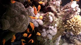 School of fish on underwater seabed of natural sea aquarium. Unique landscape, rocky pinnacles, canyons, walls and caves. Beautiful relax array of marine life stock video