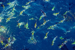 School of fish underwater. School of yellow fish underwater, nature background Stock Image