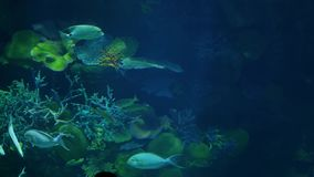 School of fish of various species swimming in clean blue water of large aquarium. Marine underwater tropical life. School of fish of various species swimming in stock video footage