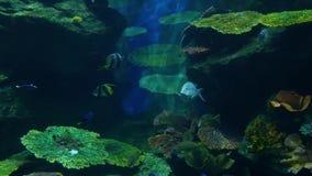 School of fish of various species swimming in clean blue water of large aquarium. Marine underwater tropical life. School of fish of various species swimming in stock video