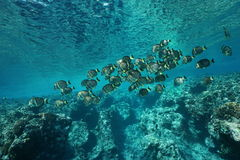 School of fish whitespotted surgeonfish Royalty Free Stock Images