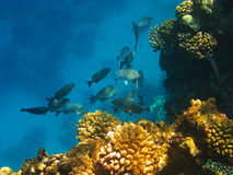 School of fishes. Swimming near the coral reef of Red Sea Royalty Free Stock Photography
