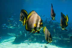 School of fishes. School of inquisitive fish in aquarium in australia Royalty Free Stock Photography