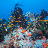 School of Fishes near Coral Reef, Maldives Royalty Free Stock Photo