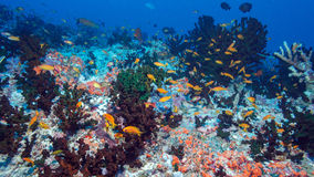 School of Fishes near Coral Reef, Maldives Royalty Free Stock Images