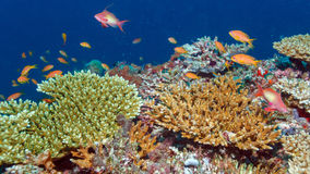 School of Fishes near Coral Reef, Maldives Stock Photography