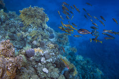School of fishes over coral reef in the sea Stock Images