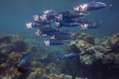 School of fishes over coral reef Stock Photo