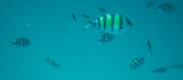 School of fishes underwater. Diving, snorkling with school of fishes underwater of tropical sea Royalty Free Stock Photos