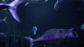 School of fishes underwater. Sea stock video footage