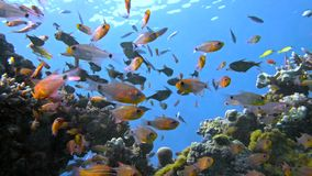 School of fishes Vanikoro Sweeper swims near coral reef in Red sea. Royalty Free Stock Images