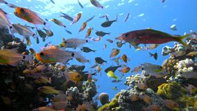 School of fishes Vanikoro Sweeper swims near coral reef in Red sea. Egypt. 4K stock footage