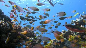 School of fishes Vanikoro Sweeper swims near coral reef in Red sea. Egypt Stock Image