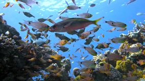 School of fishes Vanikoro Sweeper swims near coral reef in Red sea. Egypt Stock Photo