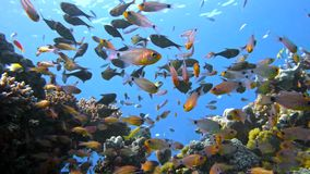 School of fishes Vanikoro Sweeper swims near coral reef in Red sea. Egypt Stock Images