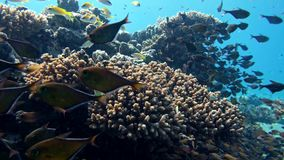 School of fishes Vanikoro Sweeper swims near coral reef in Red sea. Egypt stock video footage