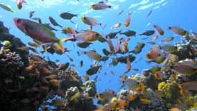School of fishes Vanikoro Sweeper swims near coral reef in Red sea. Egypt Royalty Free Stock Photography