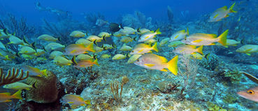 School of five-lined Snappers (Lutjanus quinquelineatus) Royalty Free Stock Images