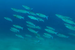 School of Flathead mullet with blue background stock photos