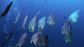 School Flock Butterfly fish on reef at dusk. stock footage