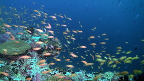 School flock of colorful fish in sea soup on reef. stock video footage