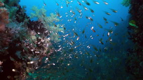 School flock of glass fish on the reef at dusk. stock footage