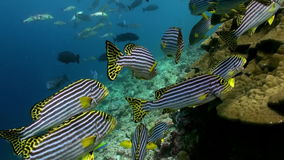 School Flok of tropical striped fish on reef. A flock school of tropical striped fish on the reef in search of food. Amazing, beautiful underwater marine life stock footage