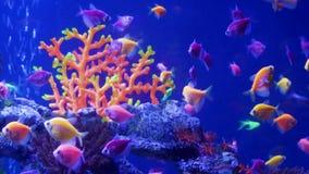 School of fluorescent tropical fish in aquarium