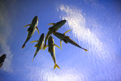 School of flying fish royalty free stock image