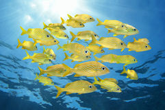 School of french grunt fish Stock Photo