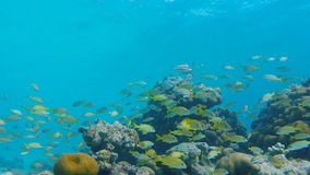 School of French Grunt Swimg Around Reef stock video