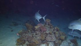 School of giant trevally hunting. At night, Red sea, Egypt. Full HD underwater footage stock video