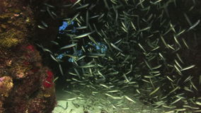 School of glass fish in an underwater cave. Underwater Coral Reef and Tropical Fish in Bahamas. Amazing, beautiful underwater world Bahamas and the life of its stock video